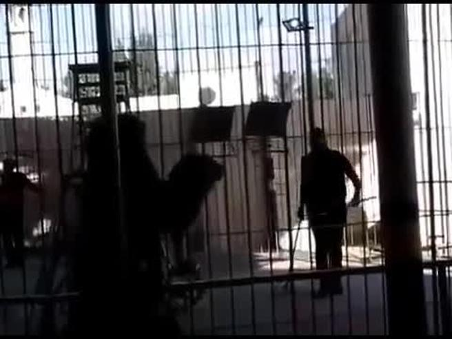 Il leone di 200 kg attacca il domatore durante lo spettacolo al circo