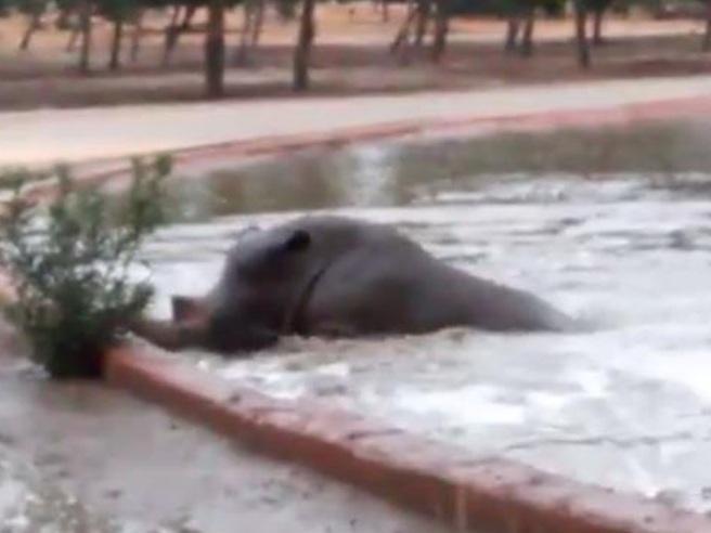L'ippopotamo salva il rinoceronte che sta annegando