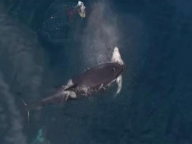 Le orche sbranano uno squalo in mare aperto: le rare immagini dal drone