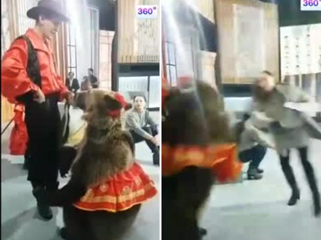 L'orso aggredisce l'assistente di studio in diretta tv