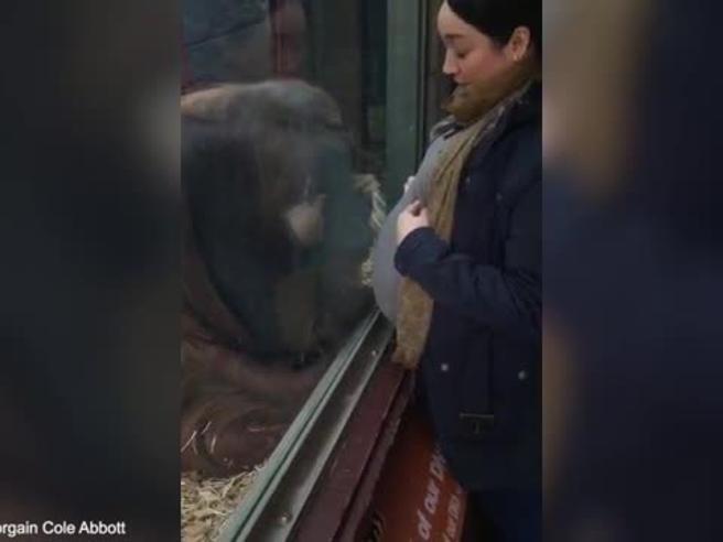 Orango bacia pancione di donna incinta e lei si commuove