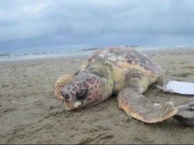 Neve e gelo,  moria di   tartarughe spiaggiate sulle coste abruzzesi
