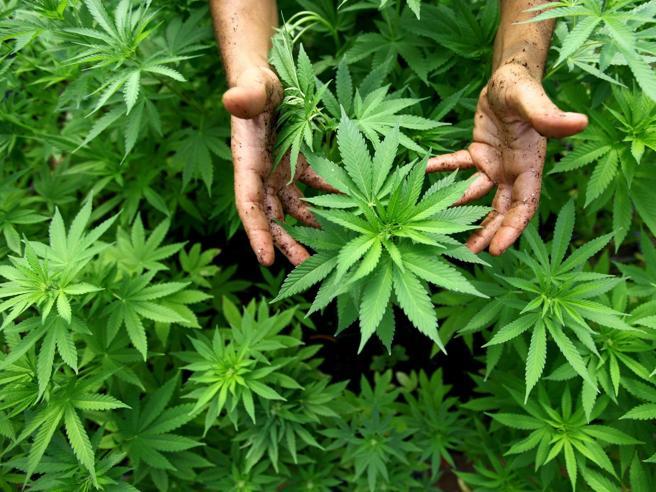Cannabis, ecco tutte le sostanze nocive che contiene La videoscheda|Il dossier