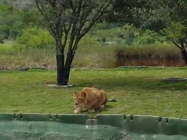 La leonessa si lancia contro i turisti che urlano di terrore