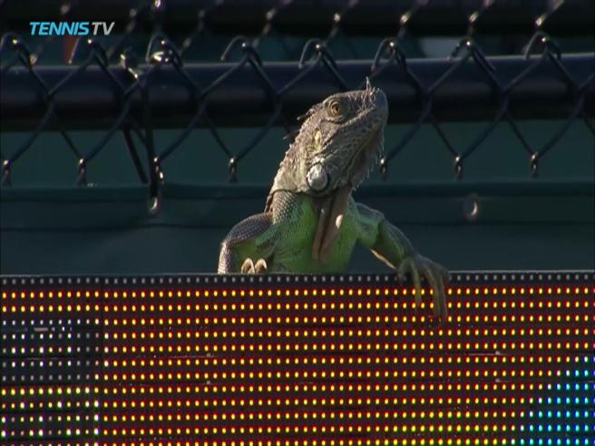 Tennis, tutti fermi ai Miami Open: c'è un'iguana in campo