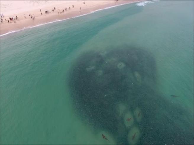 Come un film dell'orrore, un branco di squali «assaltano» la spiaggia australiana