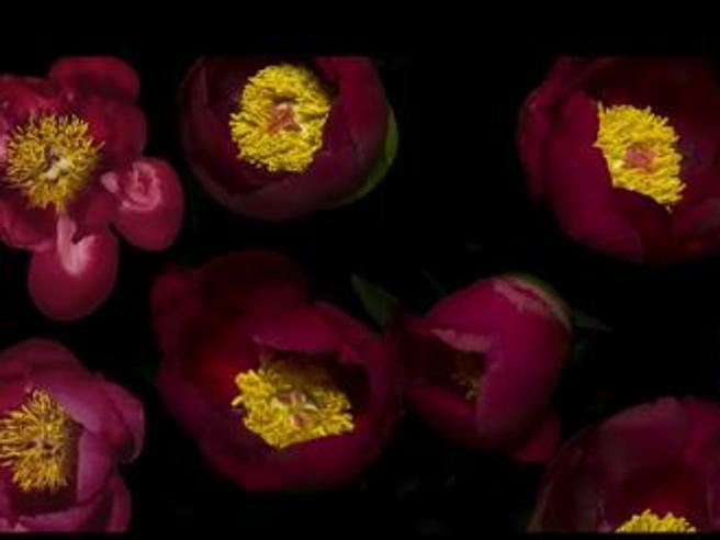 Primavera a new york il time lapse dei fiori che for Fiori che sbocciano