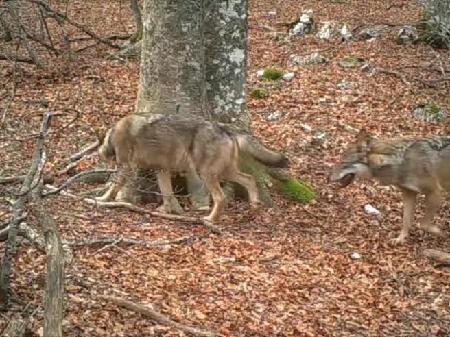 Il «battito della foresta» è virale: intorno a un faggio la vita segreta degli animali dell'Appennino
