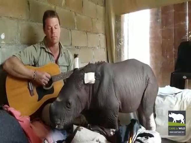 Respinto dalla madre il piccolo rinoceronte si addormenta con la ninna nanna del volontario