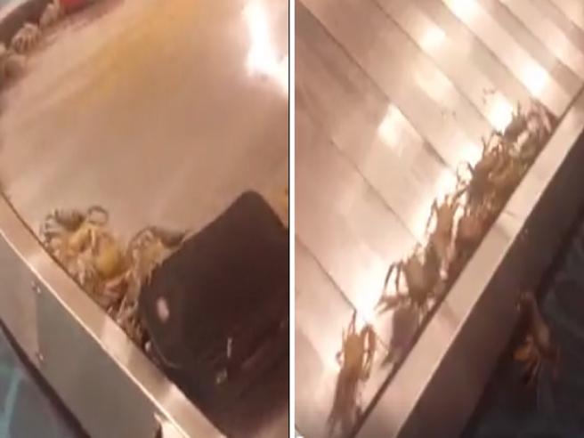 Granchi  escono da una valigia al ritiro bagagli di questo aeroporto