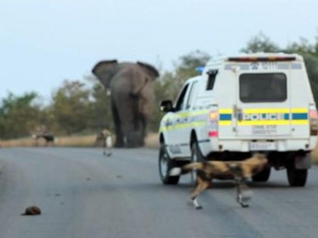 L'incontro tra l'elefante, i licaoni e l'auto della polizia: ecco chi comanda
