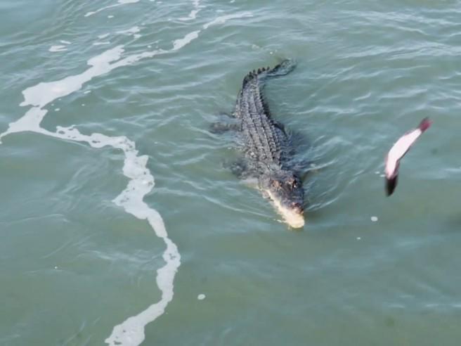 La battaglia tra un enorme coccodrillo e uno squalo dietro la barca dei pescatori