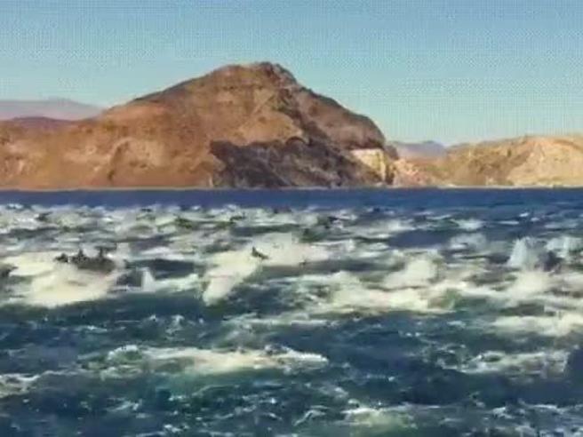 Centinaia di delfini nuotano nel golfo di California, le immagini sono spettacolari