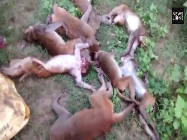 Dodici scimmie «morte di paura» davanti a una tigre