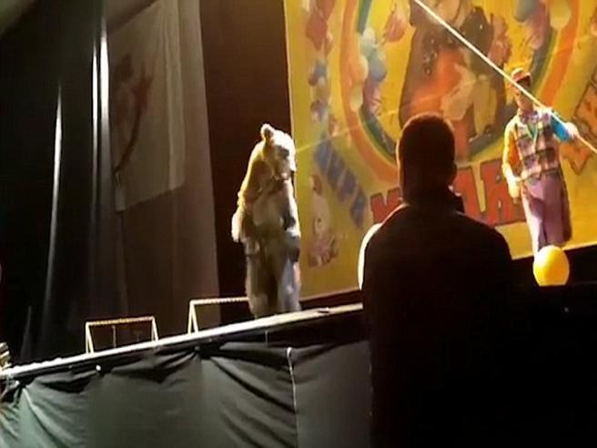 Paura al circo, l'orso attacca l'ammaestratore durante lo show