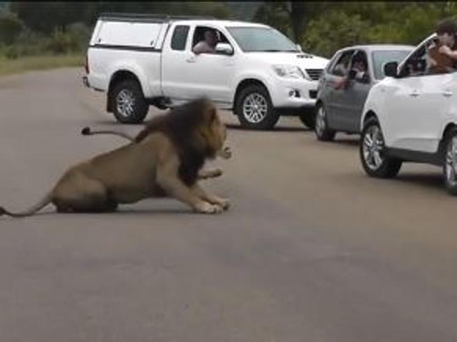 I bambini cercano di fotografare un leone: la reazione del felino fa paura