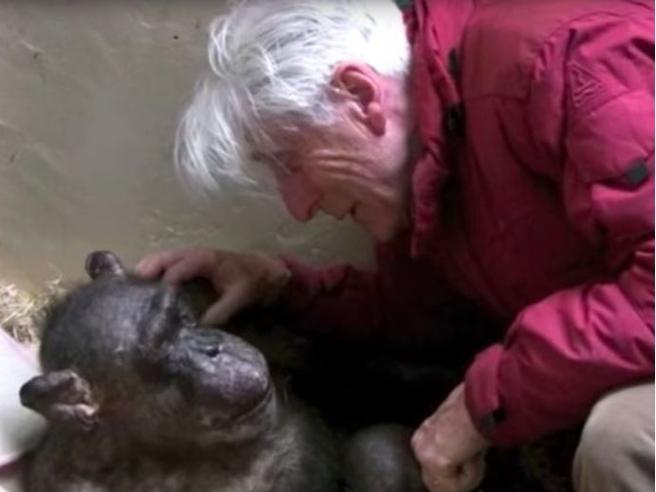 Scimpanzè sta per morire: il toccante incontro con l'uomo che si prese cura di lei