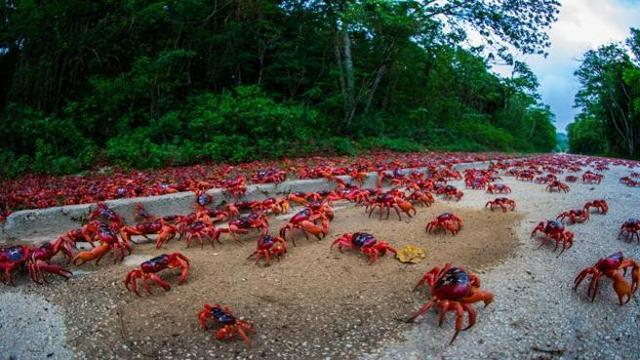 Sezione - Tara & simili > - Pagina 10 Millions_of_red_crabs_migrate_island_640_ori_crop_master__0x0_640x360