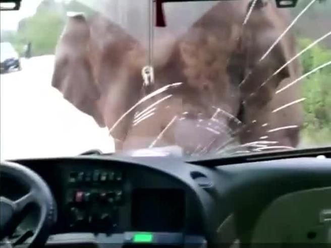 Cina, elefante imbizzarrito attacca un bus: sfonda il parabrezza con la testa