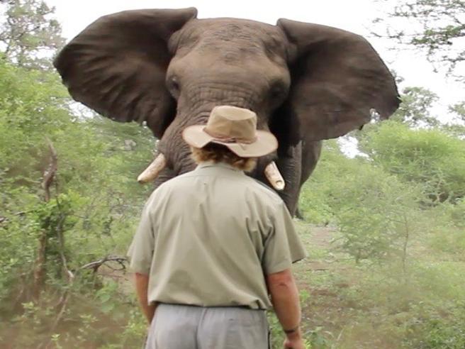L'elefante carica, la guida turistica mantiene il sangue freddo