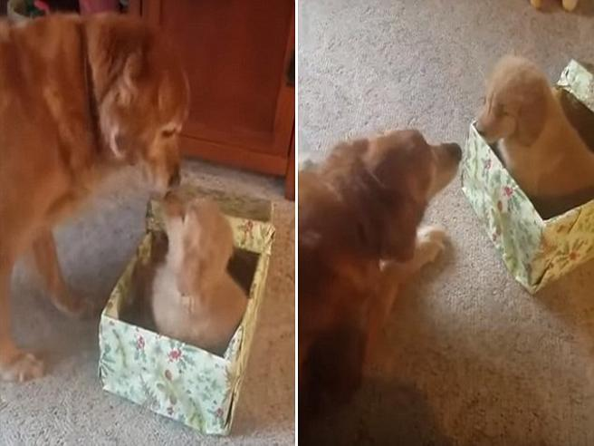 La proprietaria regala un cucciolo al suo anziano cane: la gioia è incontenibile