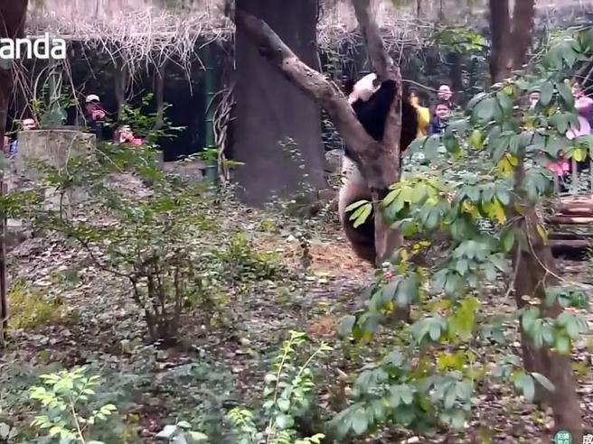 Il panda goffo: non riesce a salire sull'albero e continua a cadere