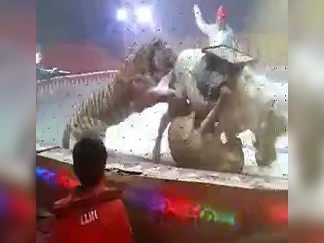 La tigre e il leone attaccano il cavallo al circo: paura durante lo show