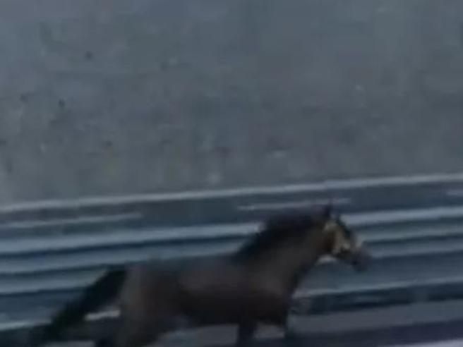 Cavallo al galoppo sull'autostrada Napoli-Salerno, panico Video