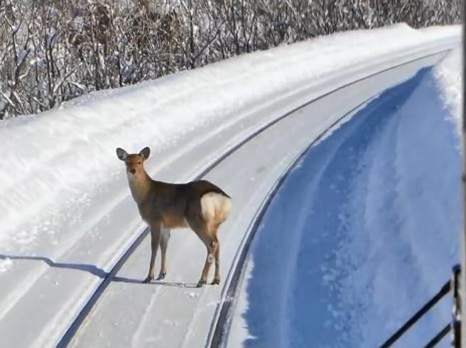 Ci sono dei cervi sui binari: e il macchinista frena il treno in corsa