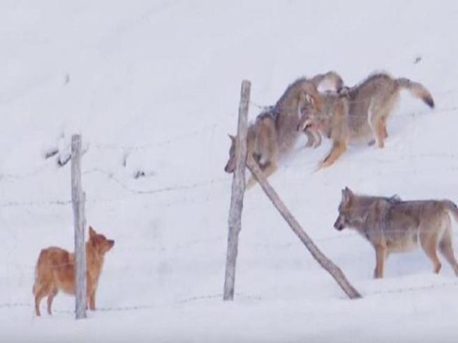 Abruzzo: il cane coraggioso respinge l'attacco dei lupi affamati
