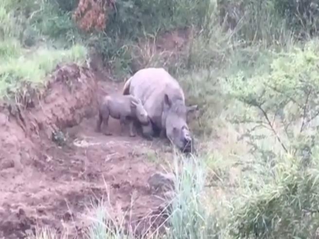 Il baby rinoceronte cerca di svegliare la madre uccisa per il suo corno