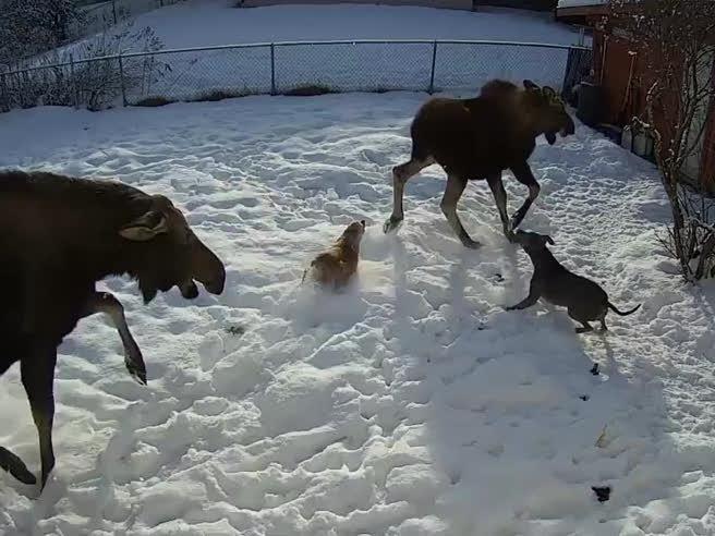 L?attacco dell?alce e il piccolo cane ha la peggio