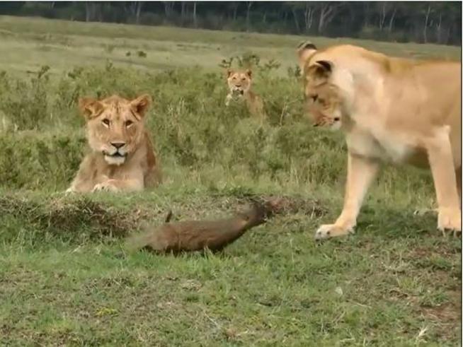Quattro leoni contro una mangusta arrabbiata, ma non finisce come previsto