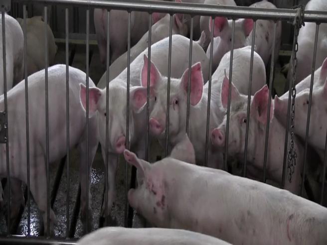 «Benessere animale», cos'è? Sfida tra  allevatori e ministero|Video