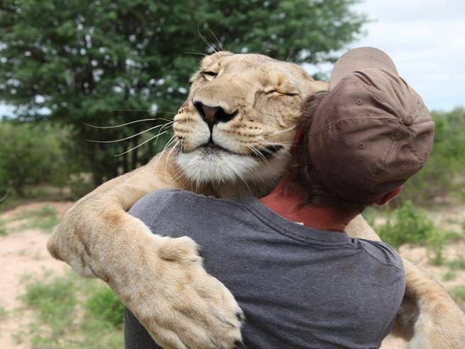 Lui le salva la vita, la leonessa lo abbraccia