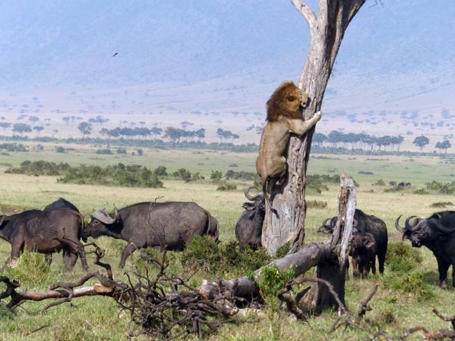 Kenya, il leone si arrampica sull'albero per scappare dai bufali