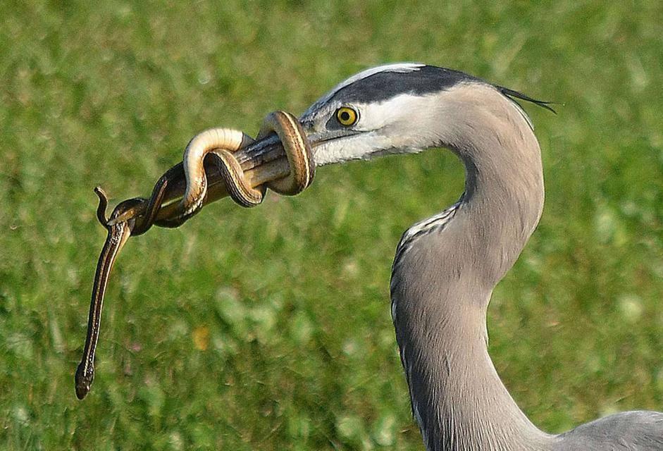 Il serpente che si annoda al becco dell 39 airone per non for Biscia nera