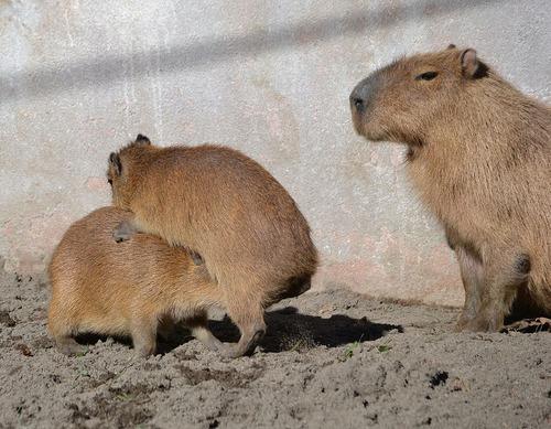 Animali Sui Capibara La Nuova Mania Di Tumblr