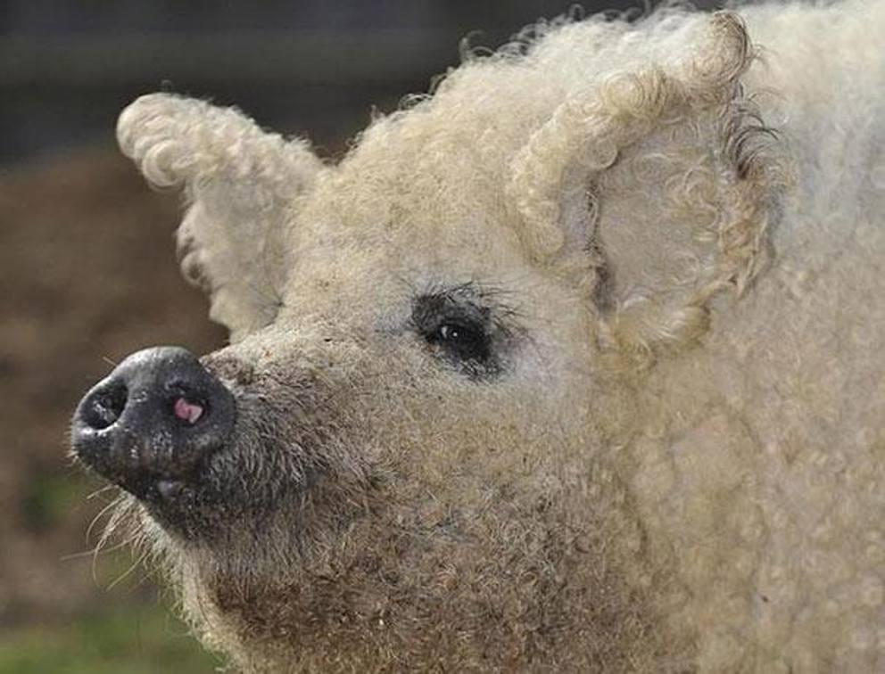 Flash sul mondo ... di tutto, di più: Mangalica , il maiale che ...