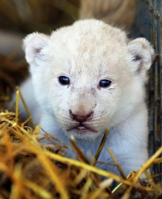 Germania, nati 4 cuccioli di leone bianco