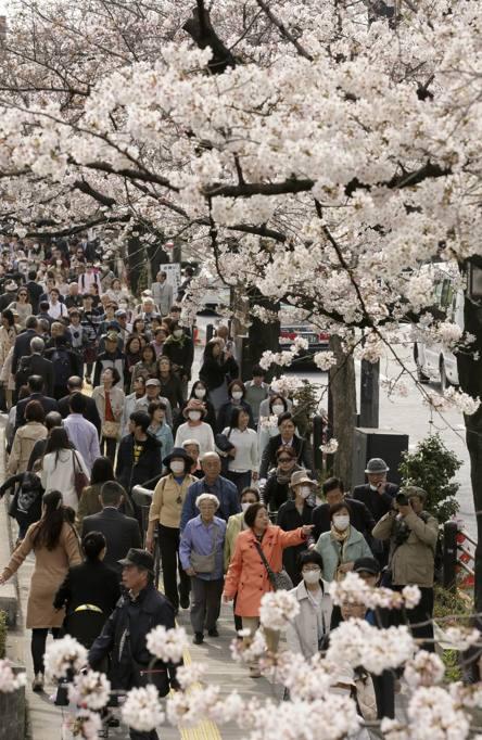 Ciliegio Fiori Bianchi O Rosa.Ecco La Primavera Lo Spettacolo Dei Ciliegi In Fiore In Giappone