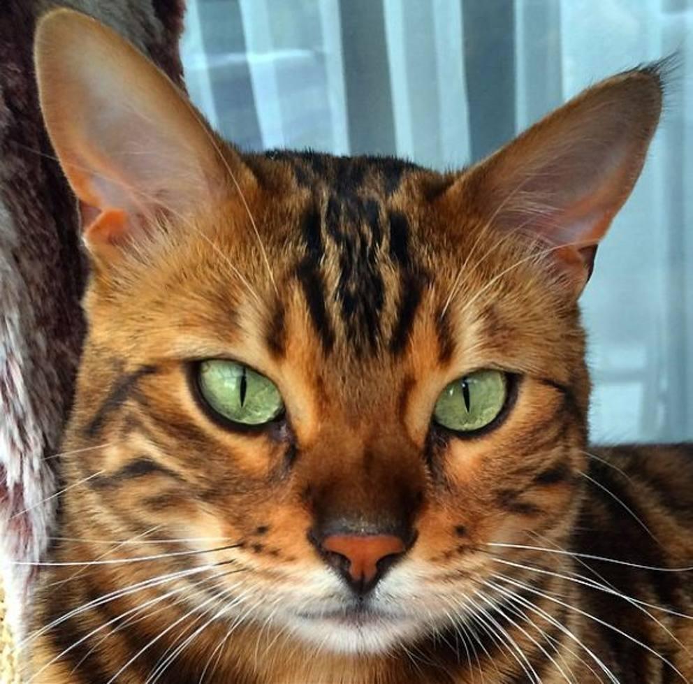 Thor Il Gatto Del Bengala Perfetto Un Piccolo Leopardo Da Divano