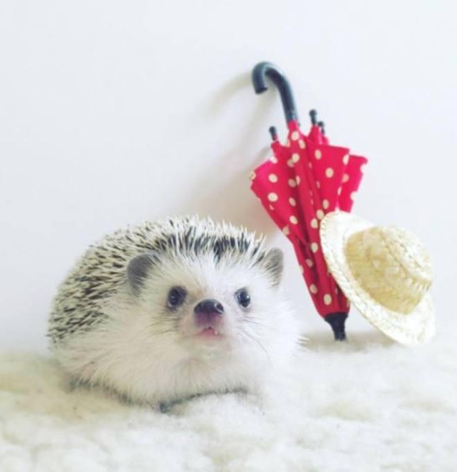 Calendario Giapponese Animali.Case Cappelli E Pose Ecco Azuki Il Riccio Giapponese Con