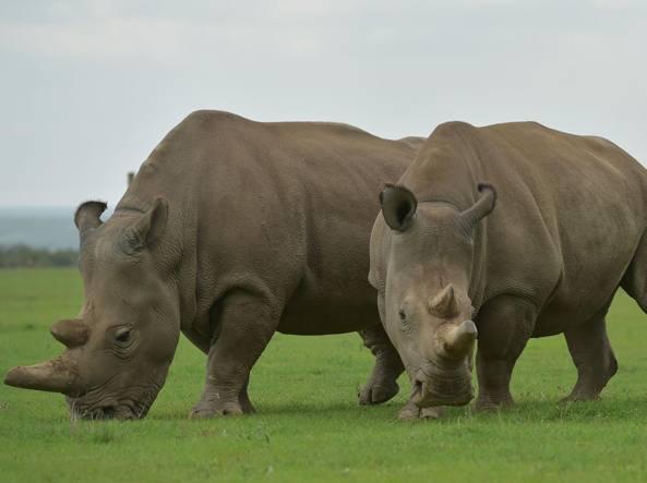 L'estinzione del rinoceronte bianco si potrà evitare con i geni di Sudan -  Corriere.it