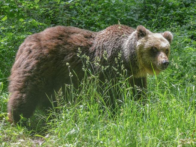 Orso marsicano muore durante la cattura nel Parco d'Abruzzo