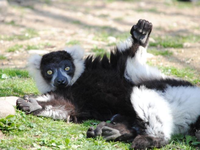 Silver, il lemure bianconero compie 30 anni: è il terzo più longevo Europa