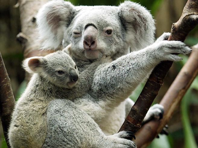 I koala  rischiano di sparire, piano milionario per salvarli |Immagini