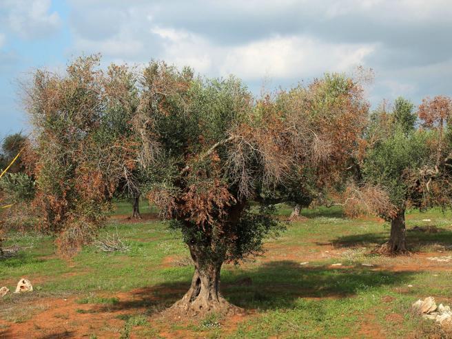 Xylella, milioni di ulivi colpiti (per la superstizione)  L'Ue chiede i danni