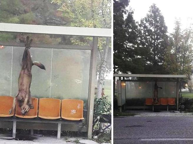 Lupo ucciso e appeso alla fermata del bus, scovati i due autori
