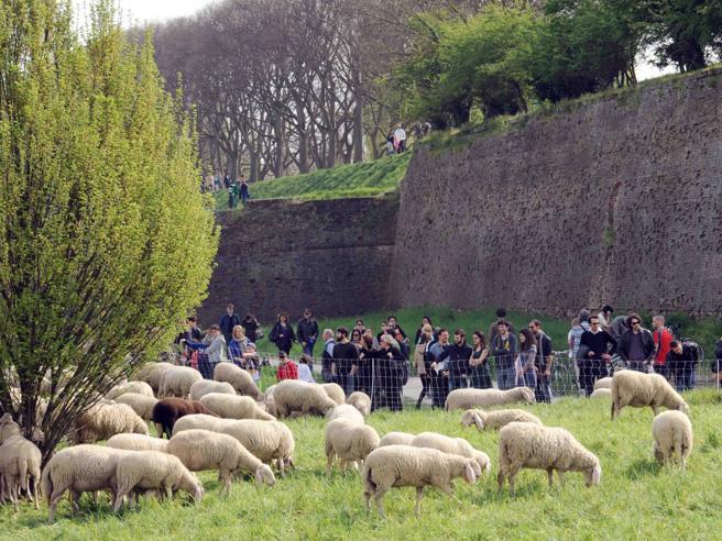 Roma, pecore per tosare l'erba dei parchi: l'ultima idea della giunta Raggi